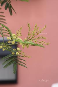 ポンポン咲きのミモザ - 小さな庭 2