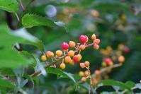 ■木の実 3種19.7.22(ウワミズザクラ、ケンポナシ、ハナイカダ) - 舞岡公園の自然2