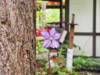 カフェから見える理想的な場所に「クレマチス」が咲いたのですが・・ - 十勝・中札内村「森の中の日記」~café&宿カンタベリー~