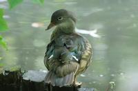 オシドリの母と子 - 今日の鳥さんⅡ