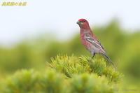憧れの鳥(1-2) - 奥武蔵の自然
