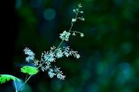 第34候桐始めて花を結ぶ - Wind Tribe Story