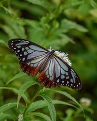 フジバカマに蝶 - 続 鳥撮るclub
