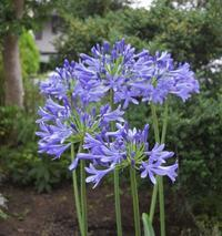 庭は紫色の花がつぎつぎと。。。 - ヒバリのつぶやき