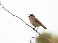 夏の北海道探鳥と登山、丘巡り③天売島の島内巡り - ひとり野鳥の会
