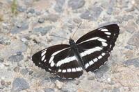 23ミスジチョウ「蝶図鑑」 - 超蝶