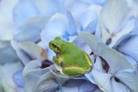紫陽花にカエル - SWAN