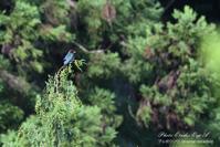 森の宝石  ブッポウソウ・・・① - フォト エチュード  Photo-Etudes