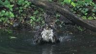 オオタカお父さんの豪快な水浴び - Life with Birds 3