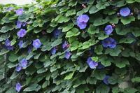 夏の花(13) リュウキュウアサガオ (2019/7/22撮影) - toshiさんのお気楽ブログ