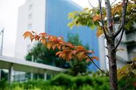 サクラの紅葉と暑いのか涼しいのか迷走する夏 - 照片画廊