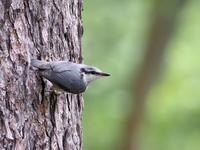 清涼感の中のゴジュウカラ - コーヒー党の野鳥と自然 パート2