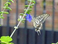 アゲハチョウ雨の庭で - 蝶のいる風景blog
