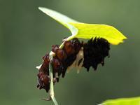 ジャコウアゲハ幼虫に遭遇!♪・・・ウマノスズクサの葉を食べていたのよ - 『私のデジタル写真眼』