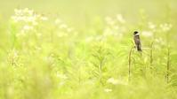 オオジュリン - 北の野鳥たち