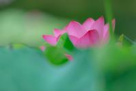 美しく咲く*蓮 5 - 気ままにお散歩