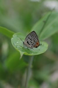 ウスイロオナガの開翅と翅裏比較 - 蝶超天国