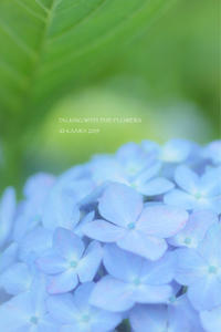* 紫陽花の夢 - Kaara's Eye