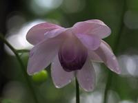 速報!レンゲショウマ咲き始め♪・・・赤城自然園でやっとだな。ほんの数輪だったけど(;'∀') - 『私のデジタル写真眼』