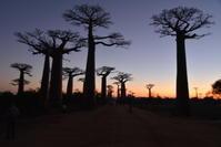 朝4時半に起きて、朝日に染まるバオバブを見に行きます! - せっかく行く海外旅行のために