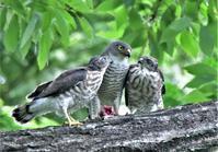 ツミ⑮2羽の幼鳥への給餌 - バードカラー