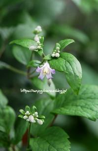 クレマチス: ジョウイニアナチャンス - 花と風の薫り