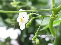 ベランダの小さな花と実 - 風と花を紡いで