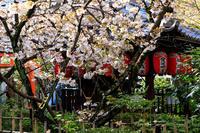 桜咲く京都2019雨宝院にて - 花景色-K.W.C. PhotoBlog