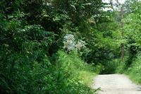 ■ヤマユリが咲きだした19.7.25 - 舞岡公園の自然2