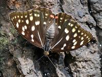 国蝶 オオムラサキ - 花と葉っぱ