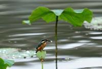 ハスにカワセミ ② - azure 自然散策 ~自然・季節・野鳥~