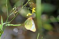 ミヤマモンキチョウ高山蝶の女王 - 蝶のいる風景blog