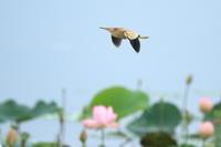 ヨシゴイハスの調整池で - 気まぐれ野鳥写真