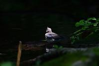 コルリ(若鳥) - やぁやぁ。