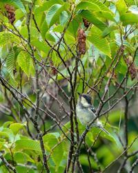 ヒガラ - 続 鳥撮るclub