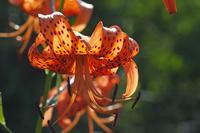 今日の向島百花園オニユリオミナエシアジサイフヨウハンゲショウアジサイダンギク - meの写真はザンス
