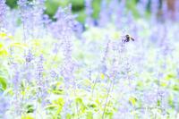 ラベンダーとミツバチ - jumhina biyori*