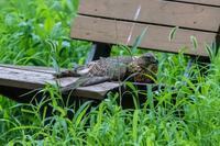 オオタカ幼鳥の排便シーン - あだっちゃんの花鳥風月