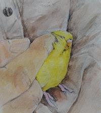 抱っこでウットリ - Blue & Yellow Budgie