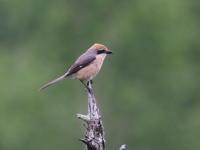 高原にはモズもいた - コーヒー党の野鳥と自然 パート2