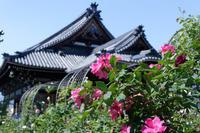 おふさ観音~薔薇 - katsuのヘタッピ風景