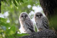 フクロウの雛が2羽並び - 比企丘陵の自然