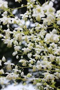 カラマツソウのくす玉&腰壁完了 - ペコリの庭 *