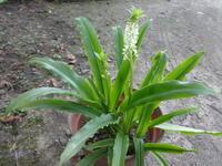 パイナップルリリー - だんご虫の花
