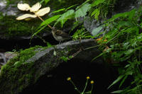 水場の幼鳥さんキビタキヒガラクロツグミ - 新 鳥さんと遊ぼう