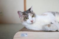 爪とぎが使えるのをじっと待つ猫 - きょうだい猫と仲良し暮らし