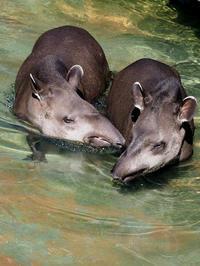 水浴するアメリカバク - 動物園放浪記
