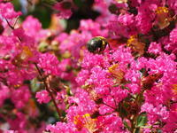 毎年、クマバチが来ると楽しい気分に♪ - やまぼうし