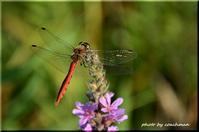 蜻蛉(トンボ)漂う - 北海道photo一撮り旅