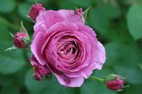 あおい2019 - my small garden~sugar plum~